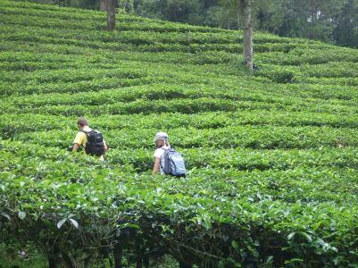 Climbing in the tea plantations