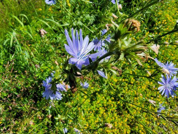 Schroon Lake Wildflower (Photo)