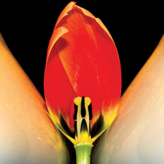 """Quarter Tulips"" copyright by Ellen Cantor"