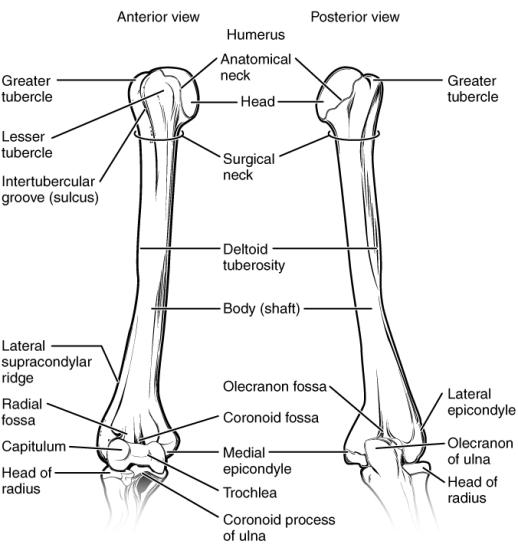 what bones make up the shoulder