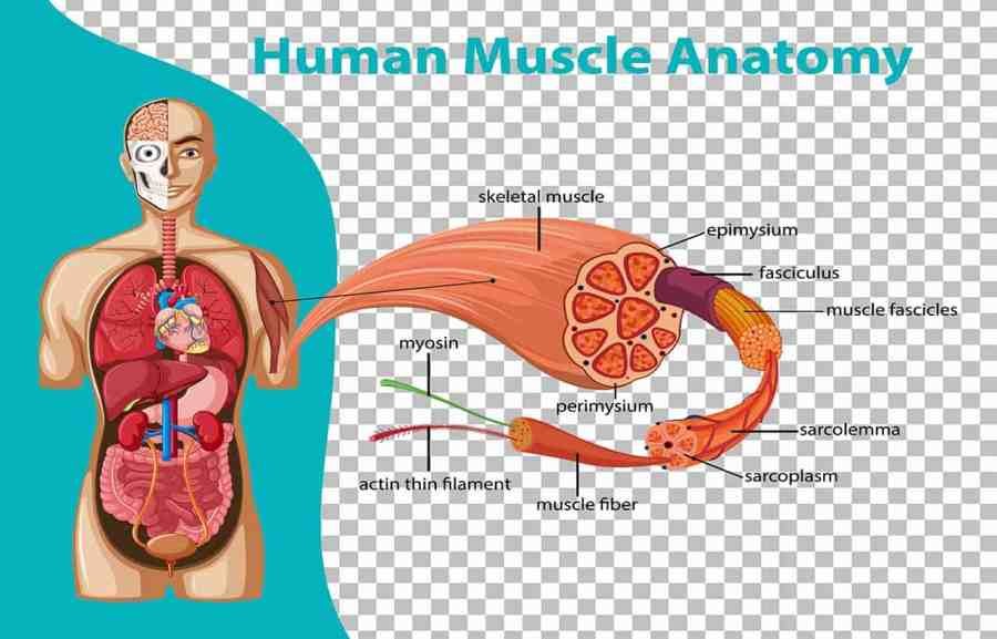 anatomical structure of skeletal muscle