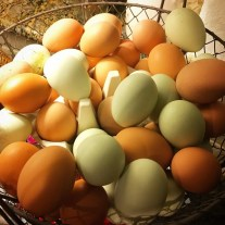 Backyard Chicken Eggs