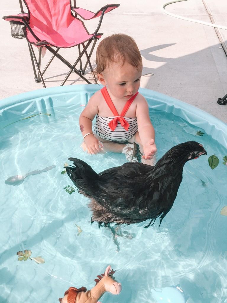 Black Jersey Giant chicken