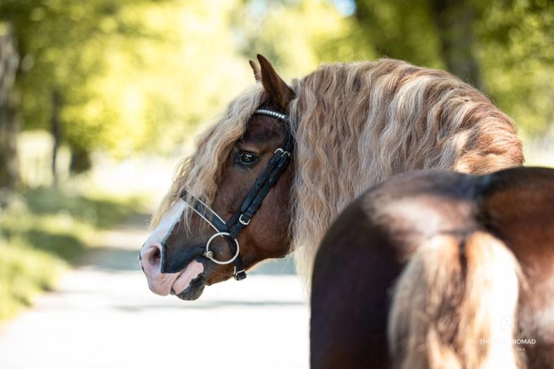 rare Schwarzwälder Kaltblut draft horse breed
