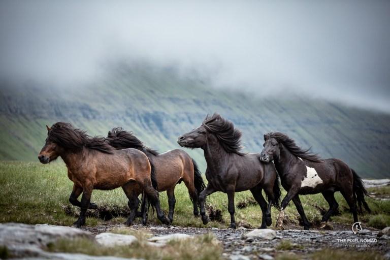 Färöer Pferd