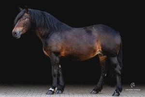 Bay Schwarzwälder Kaltblut horse