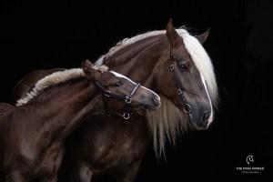 Schwarzwälder Kaltblut horse