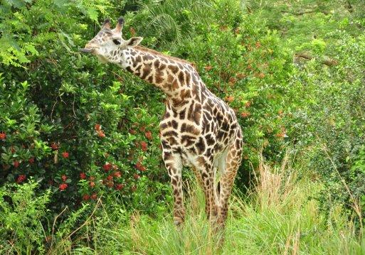 Wild Africa Trek Giraffe