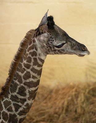 Baby Giraffe Born on Savanna while Guests Watch