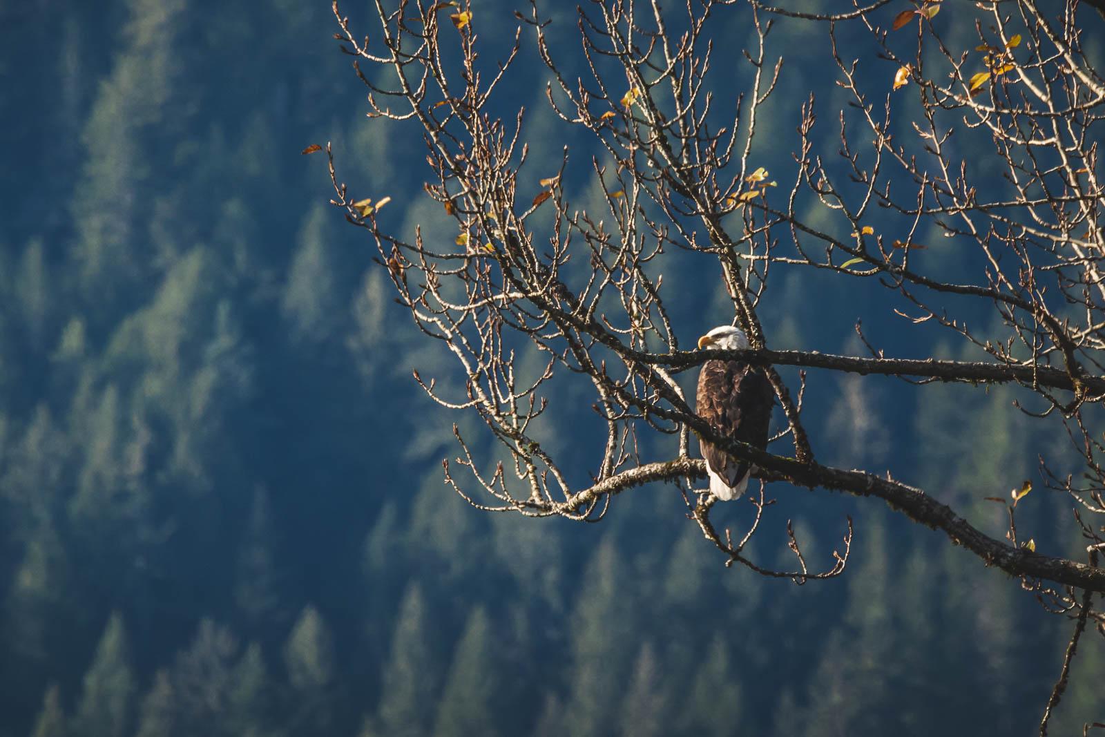 Bald Eagles in Squamish