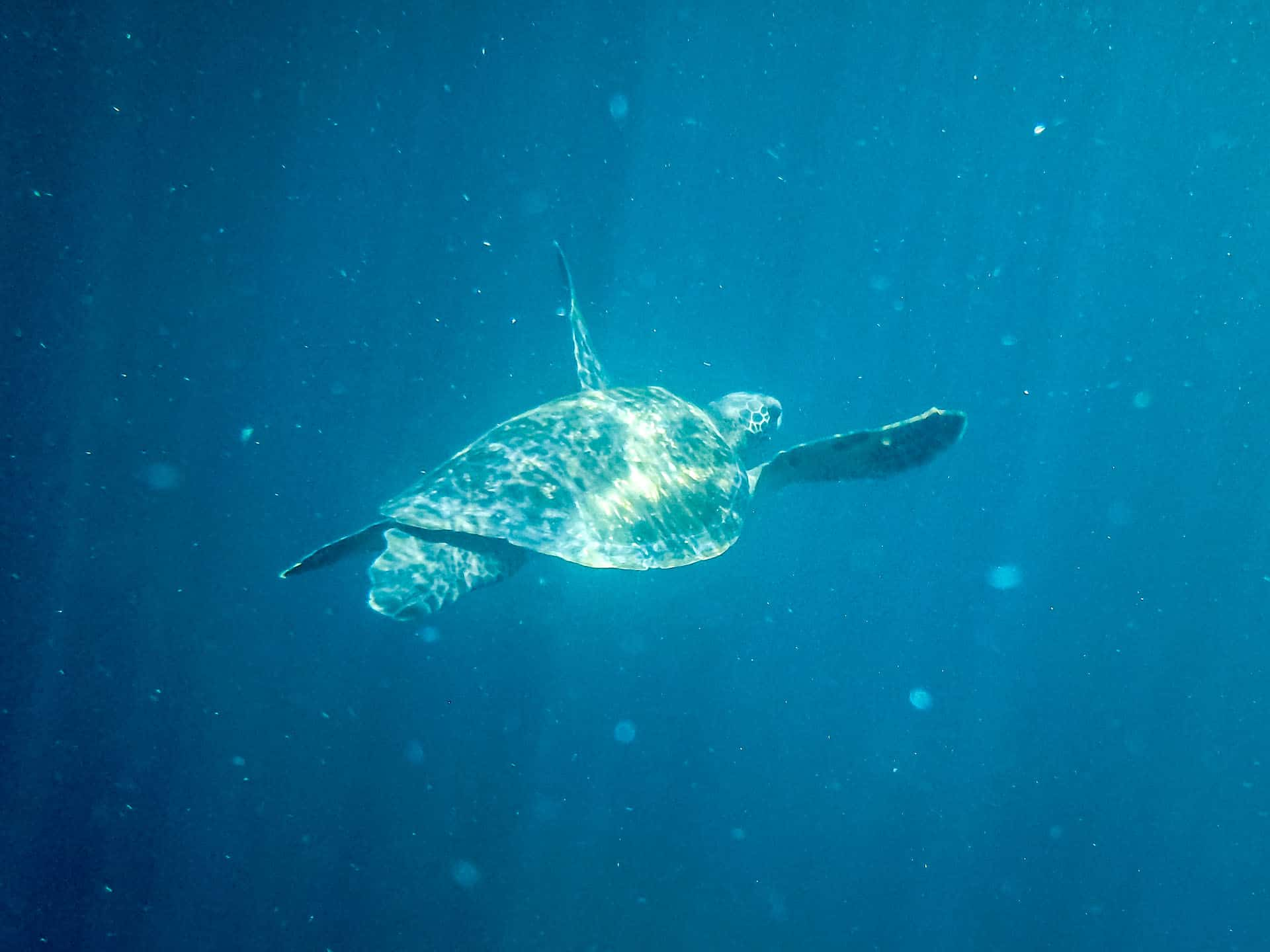 sea turtle in the galapagos islands waters