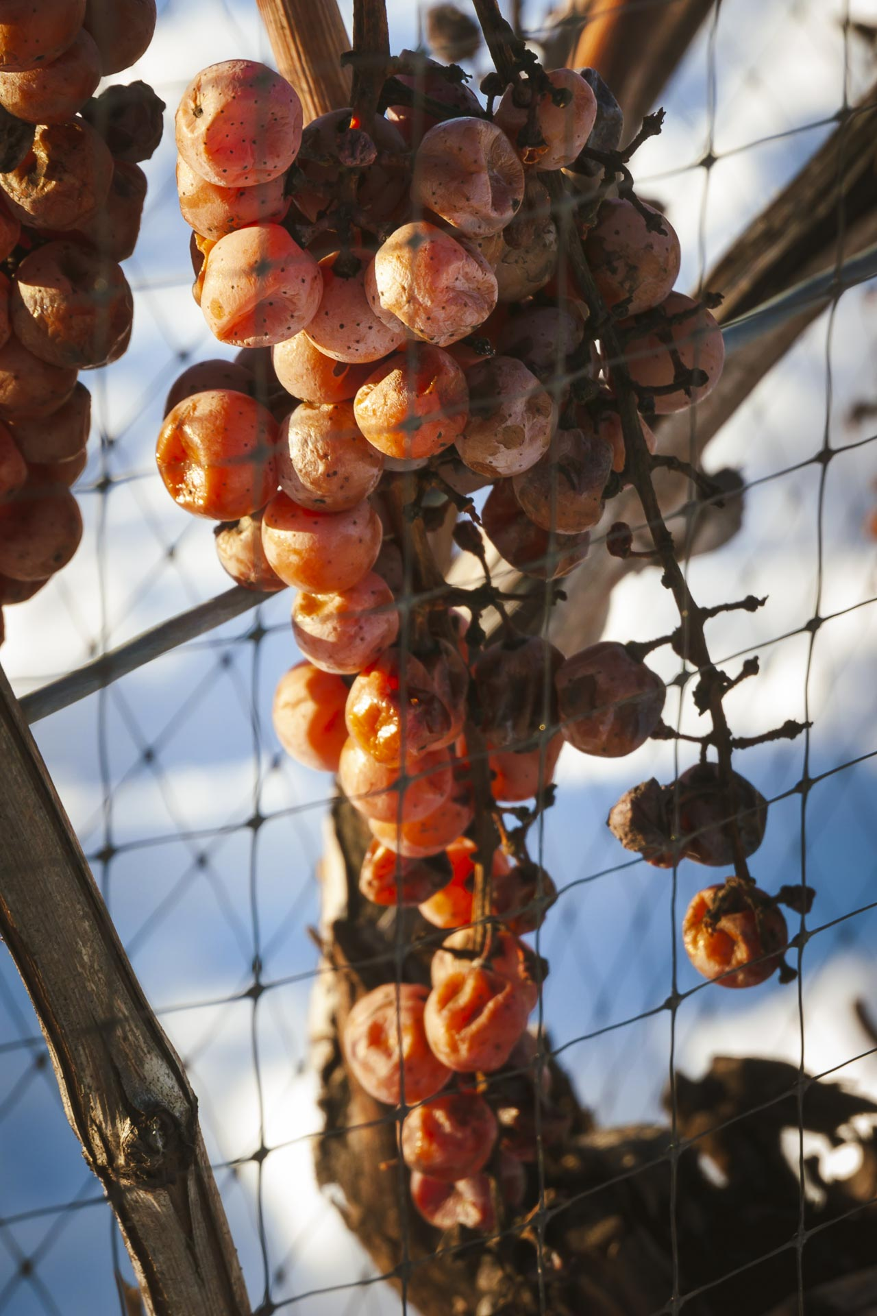 frozen grapes for ice wine