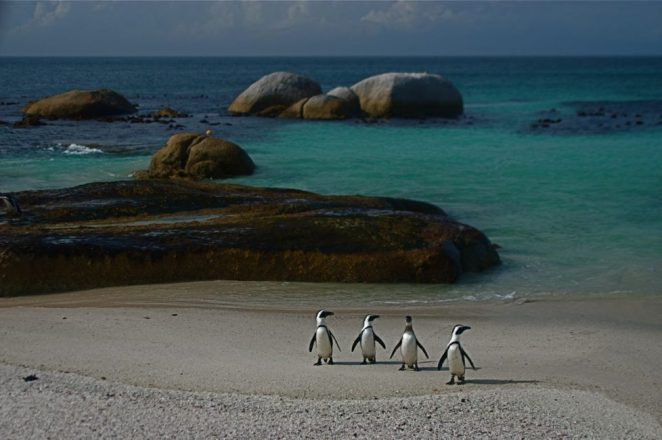Simon's Town Penguins