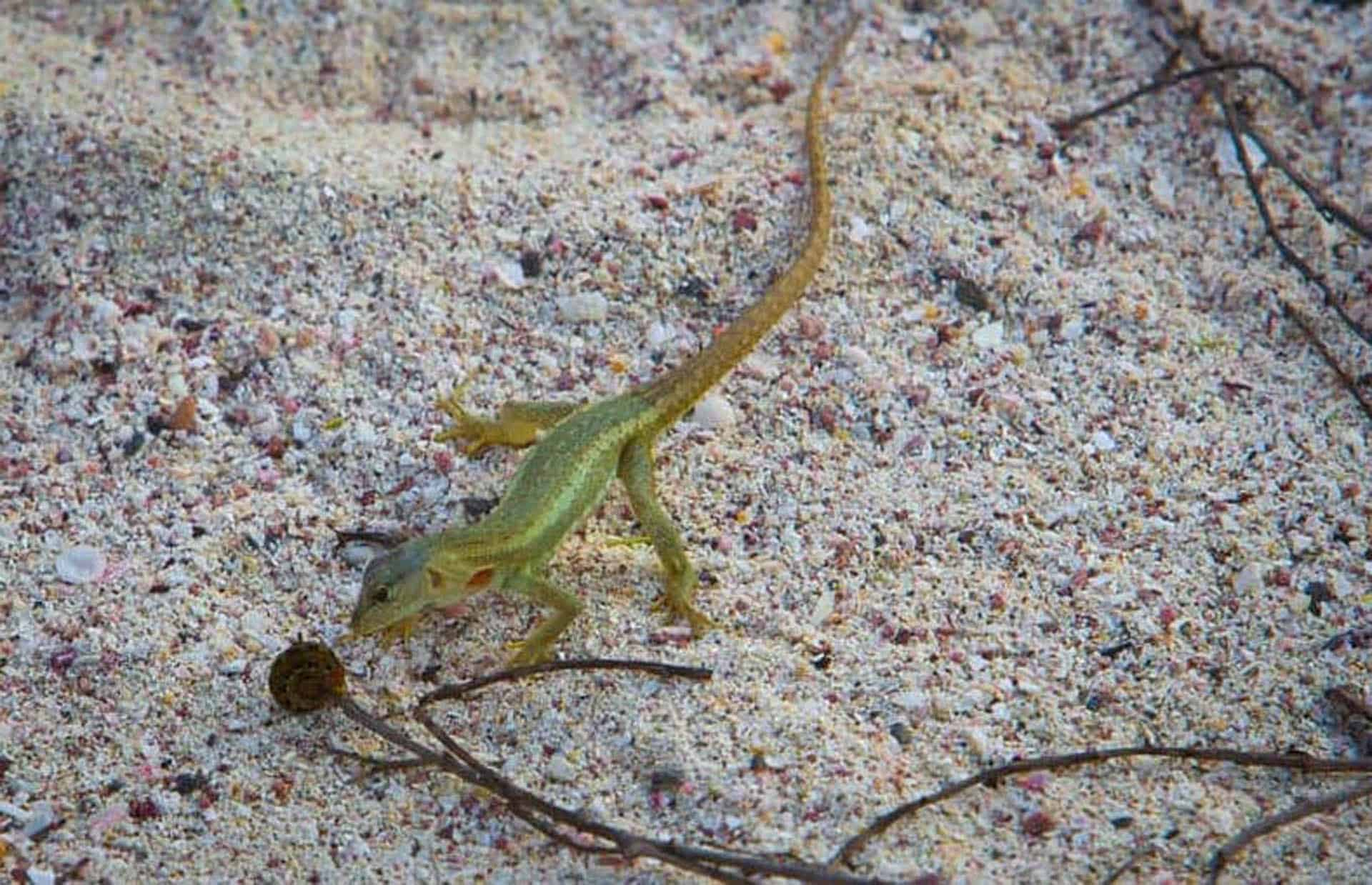 galapagos islands animals lava lizard