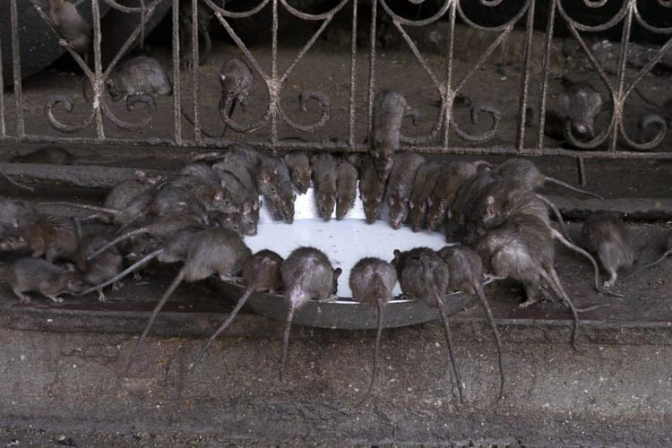 unique things to do in udaipur | rat temple