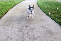 Milky, the Australian Cattle Dog, joyfully hopping to her human - Photo Submitted by Veronica Hernandez
