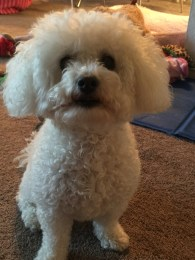 Meet Chelsea, Maltese, posing for the camera - Photo Submitted by Jayanne Jimenez