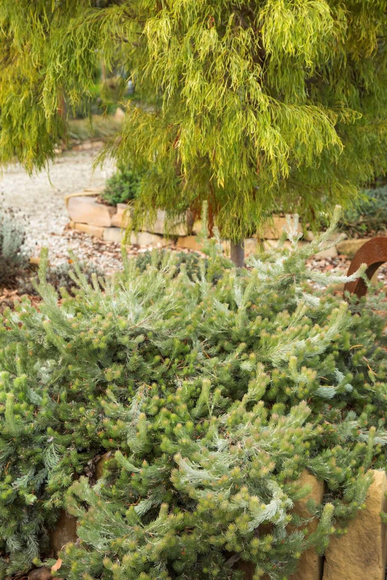 Adenanthos - Silver Lining