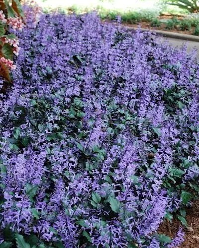 Mona Lavender Plectranthus - Plepalila