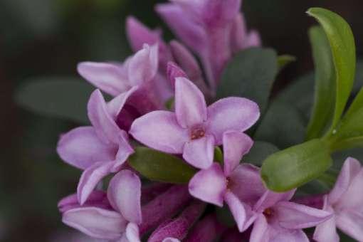 Daphne - Spring Pink Eternal Fragrance