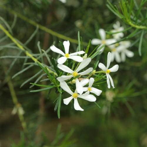 Ricinocarpus Tuberculatus - Wedding Bush
