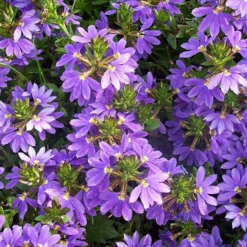 Scaevola Aemula - Fan Flower - Aussie Crawl