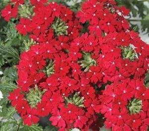 Verbena - Cyrano Deep Red