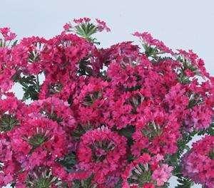 Verbena - Cyrano Rose