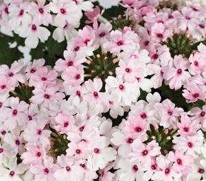 Verbena - Cyrano Soft Pink Eye