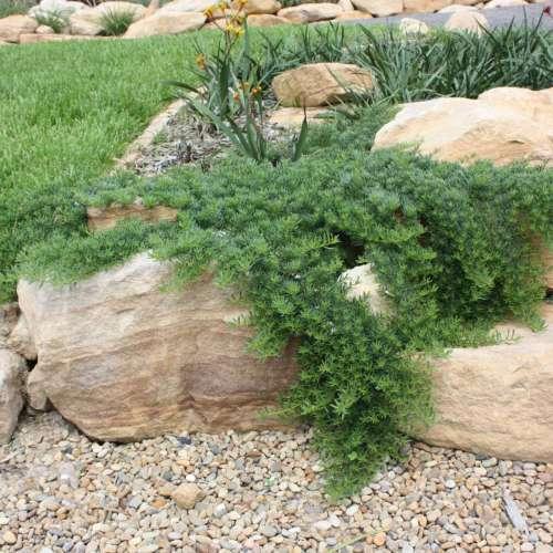 Yareena™ Myoporum parvifolium 'PARV01'