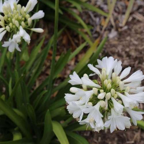 Bingo White™ Agapanthus hybrid 'WP001'