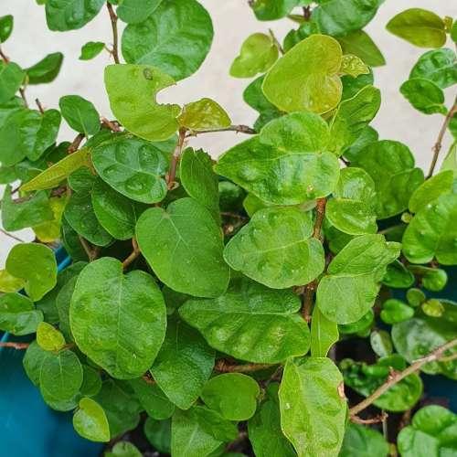 Ficus Pumila - Creeping Fig