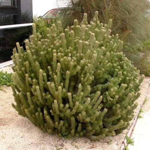 Adenanthos Sericeus Compact - Dwarf Woolly Bush