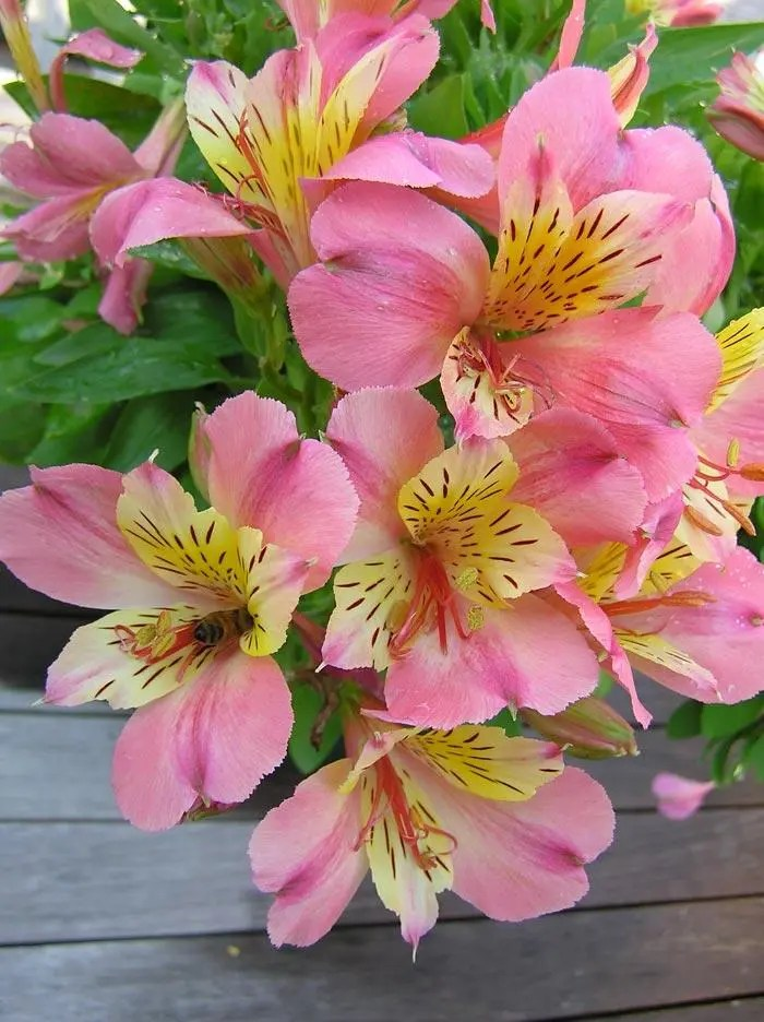 Alstroemeria - Little Miss Davina- Princess Lily