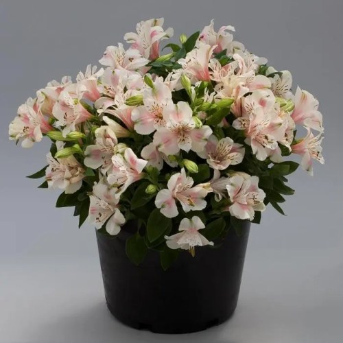Alstroemeria - Little Miss Natalie - Princess Lily