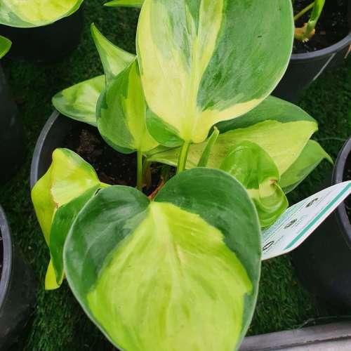Heartleaf Philodendron - Brasil