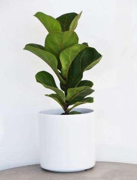 Ficus Bambino - Dwarf Fiddle-Leaf Fig