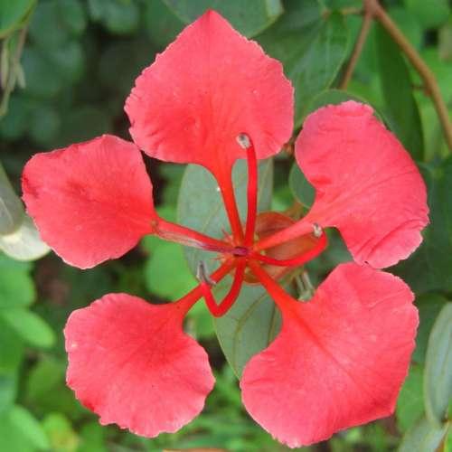 Bauhinia galpinii Red Bauhinia