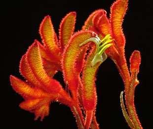 Anigozanthos hybrid 'Amber Velvet'