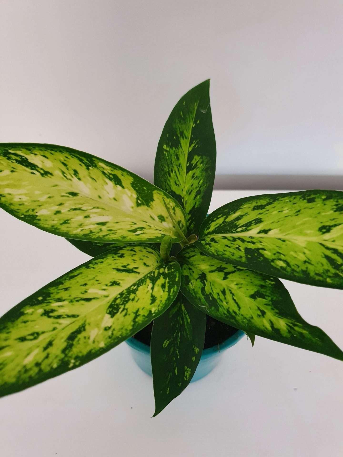 Dieffenbachia Starbright