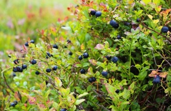 blueberries-1648595_1280