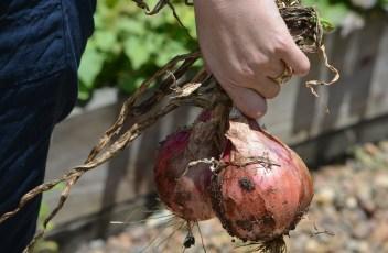 onions-248027_1280