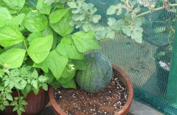 watermelon_pot2