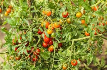tomatoes-355941_1280