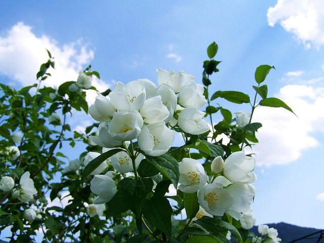 Plants Create Positive Energy Jasmine