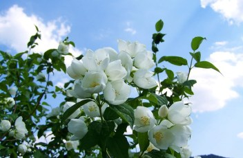 jasmine-2374392_640