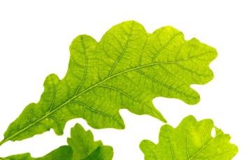 oak-leaf-2011078_640
