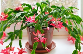 Thanksgiving-Cactus
