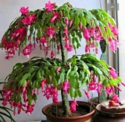 How To Care For Christmas Cactus.How To Grow And Care For Christmas Cactus The Plant Guide