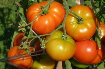 tomatoes-1320421_640